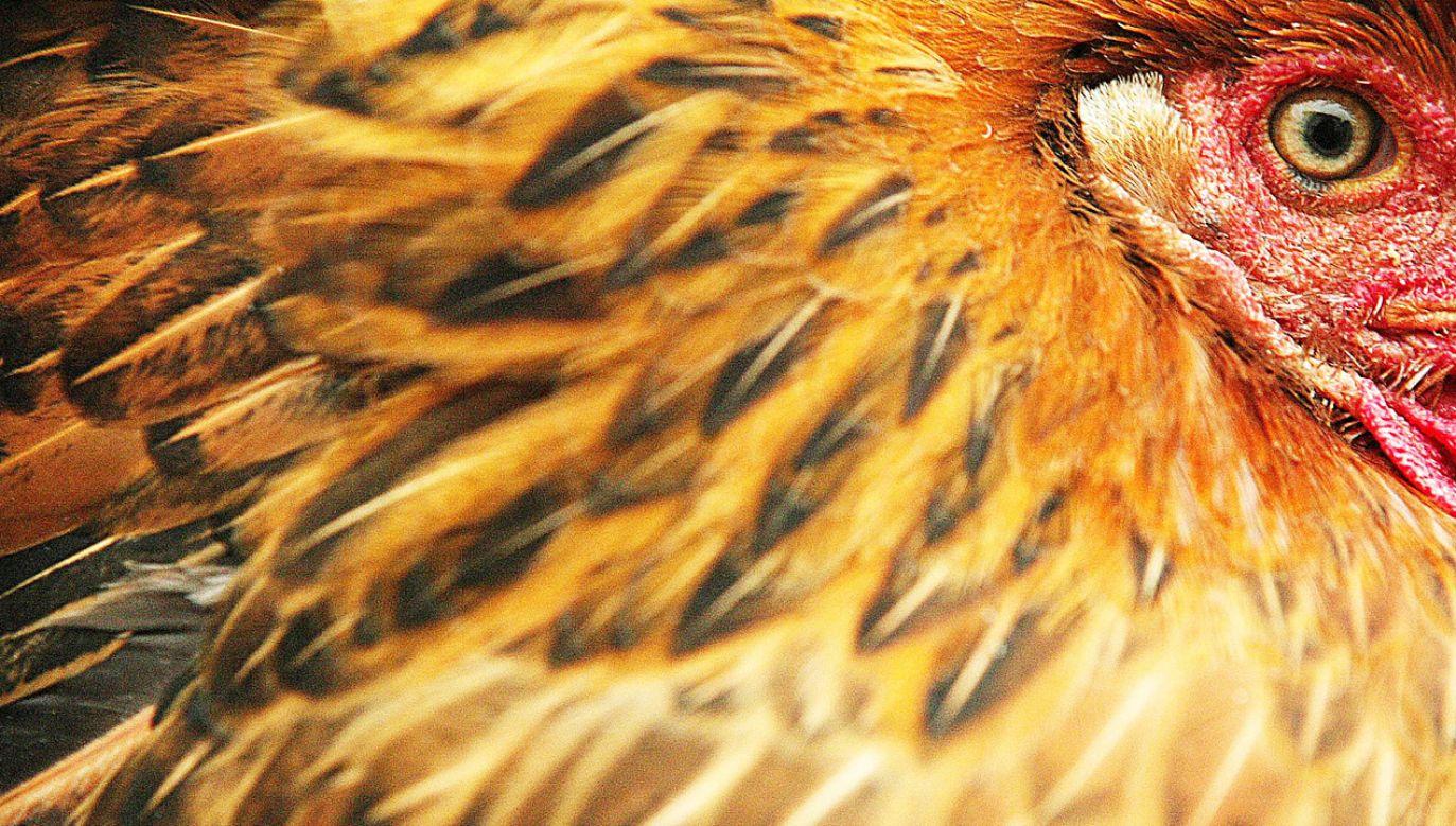 W normalnych warunkach człowiek nie trawi ptasich piór (fot. REUTERS/Stringer)