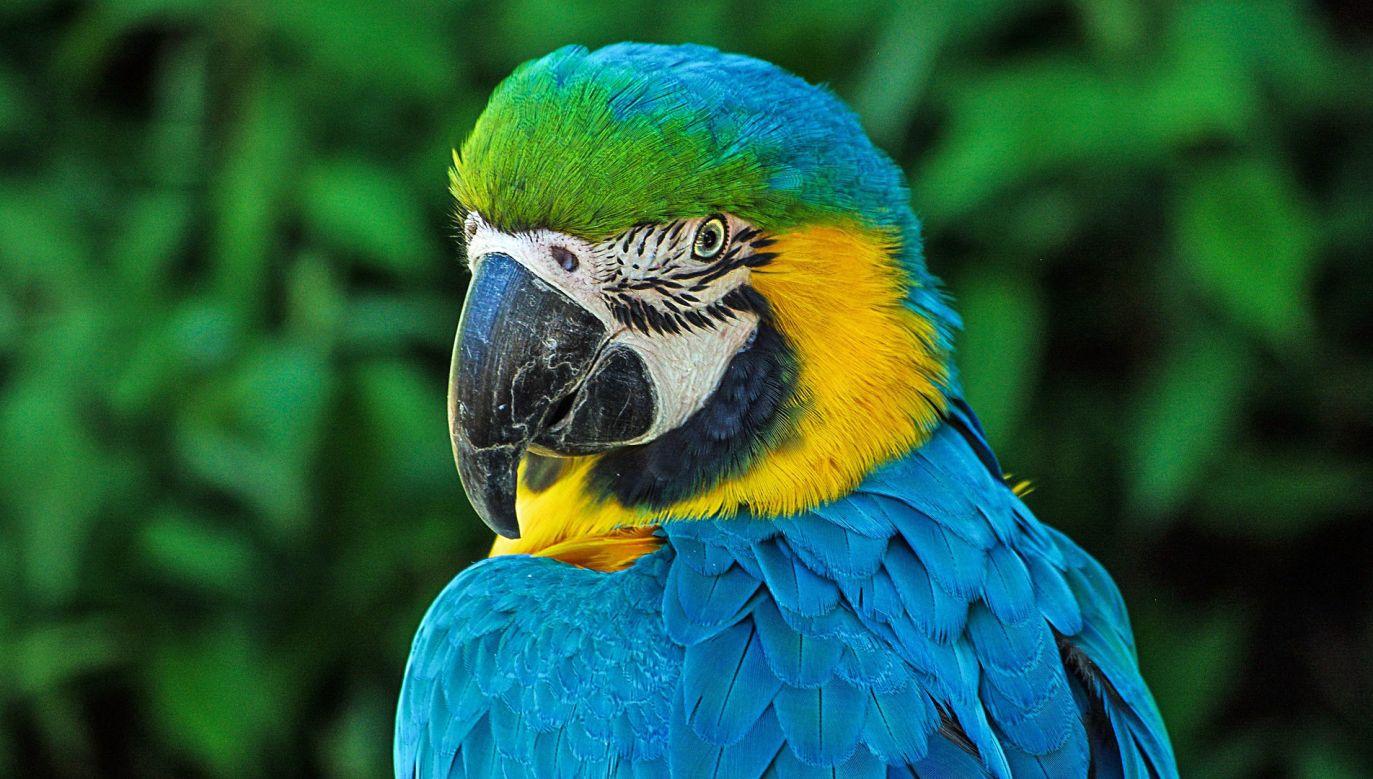 Naukowcy potwierdzili, że do ptaków o największej względnej wielkości mózgu należą krukowate i papugi (fot. Pixabay)