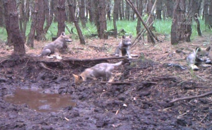 Młode wilki we Wdeckim Parku Krajobrazowym