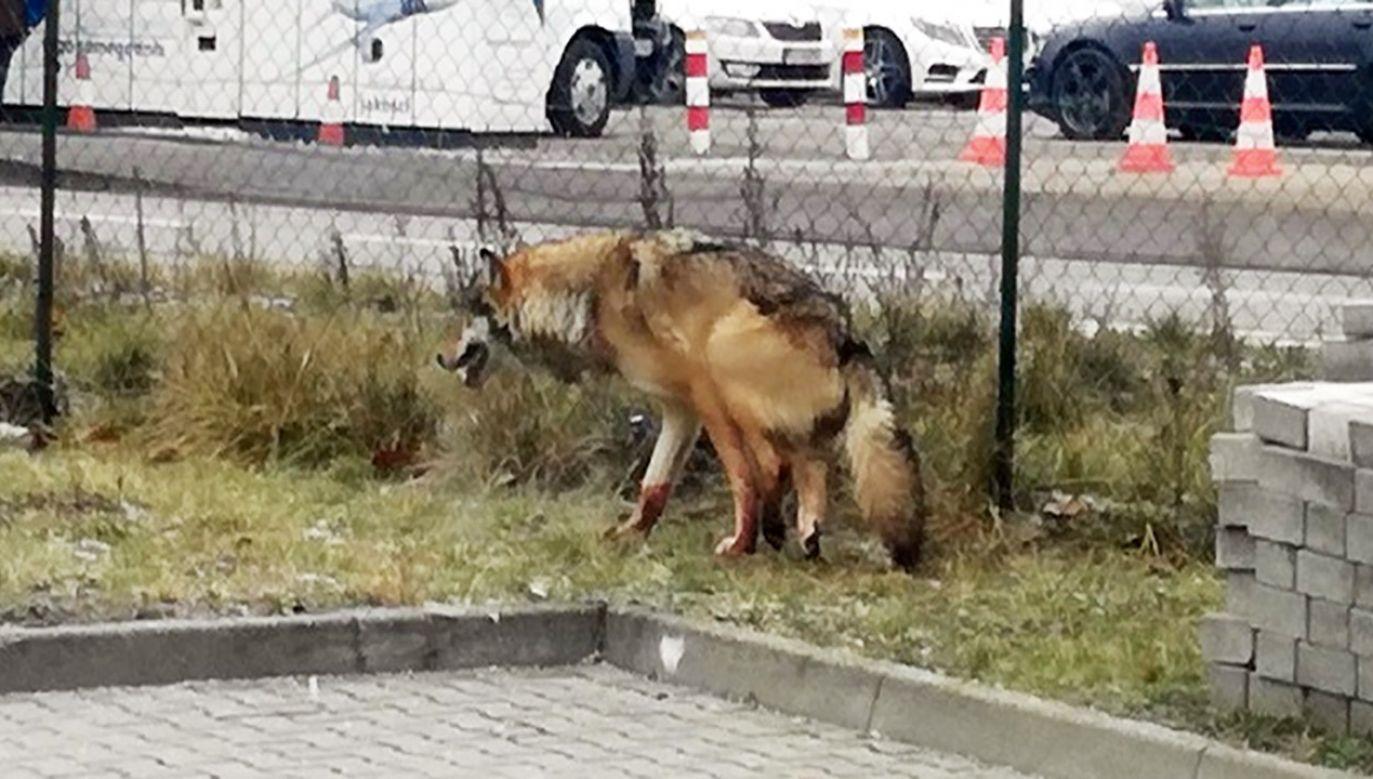 Po dłuższej chwili udało się odłowić wilka, który miał być psem (fot. Straż miejska)