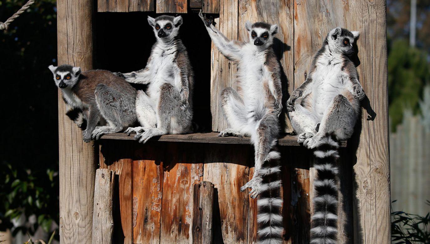 Są symbolem Madagaskaru i są w poważnych tarapatach (fot. Mahmut Serdar Alakus/Anadolu Agency/Getty Images)