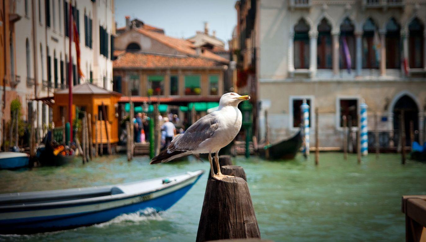Mewy coraz częściej atakują turystów odwiedzających Wenecję (fot. flickr.com/Flavio Ensiki)