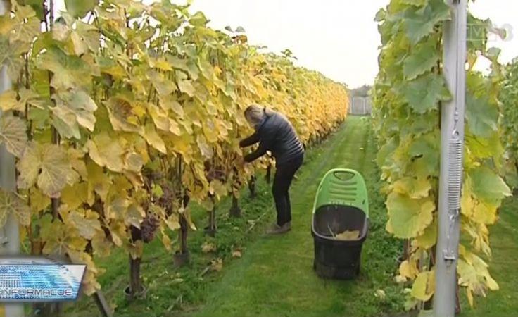 Szybsze winobranie