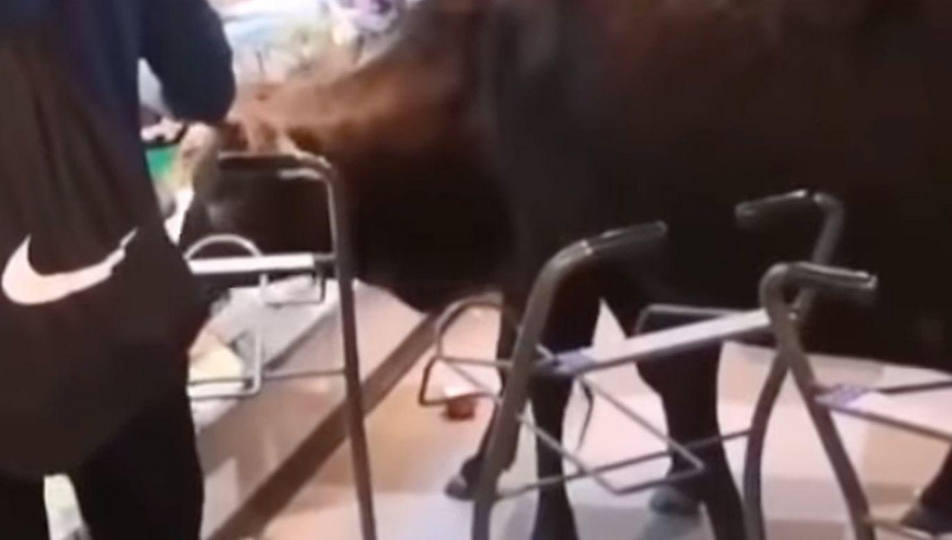 Krowy udało się wypędzić ze sklepu (fot. yt/A & G Productions)