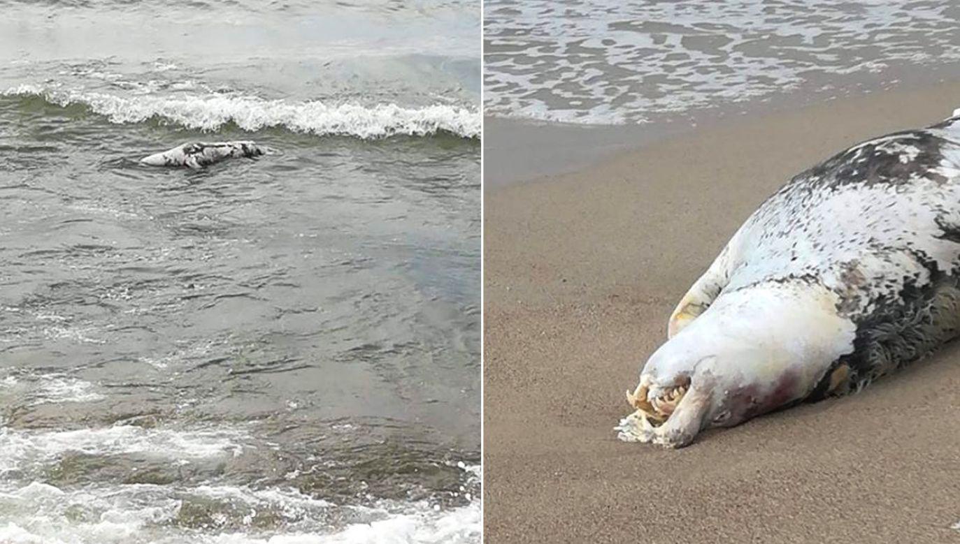 Martwa foka odnaleziona w Jarosławcu (fot. Zuzanna Bierycz)