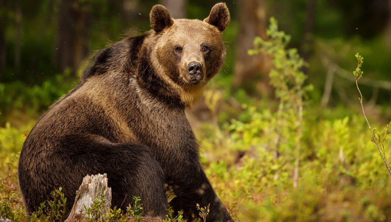 Niedźwiedź (fot. Shutterstock/Giedriius)