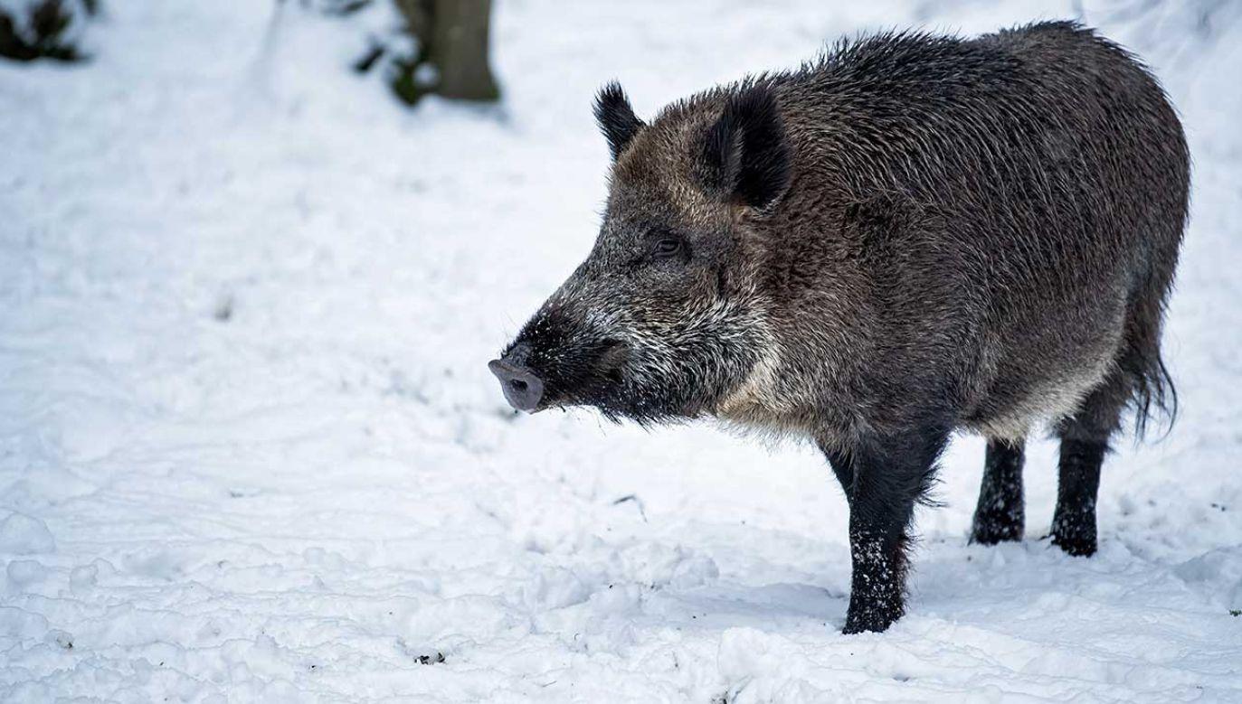 Skoordynowane polowania na dziki przeprowadzono w ciągu trzech styczniowych weekendów w ośmiu województwach (fot. arch. PAP/Wojciech Pacewicz)