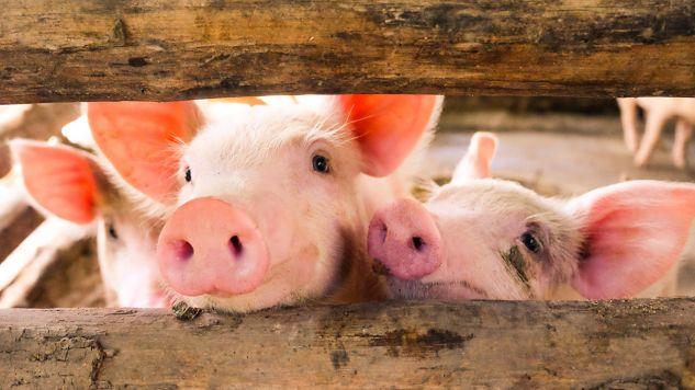 Decyzje ministra są związane z trudną sytuacją polskich producentów trzody chlewnej – wyjaśniono w komunikacie (fot. Shutterstock/chadin0)