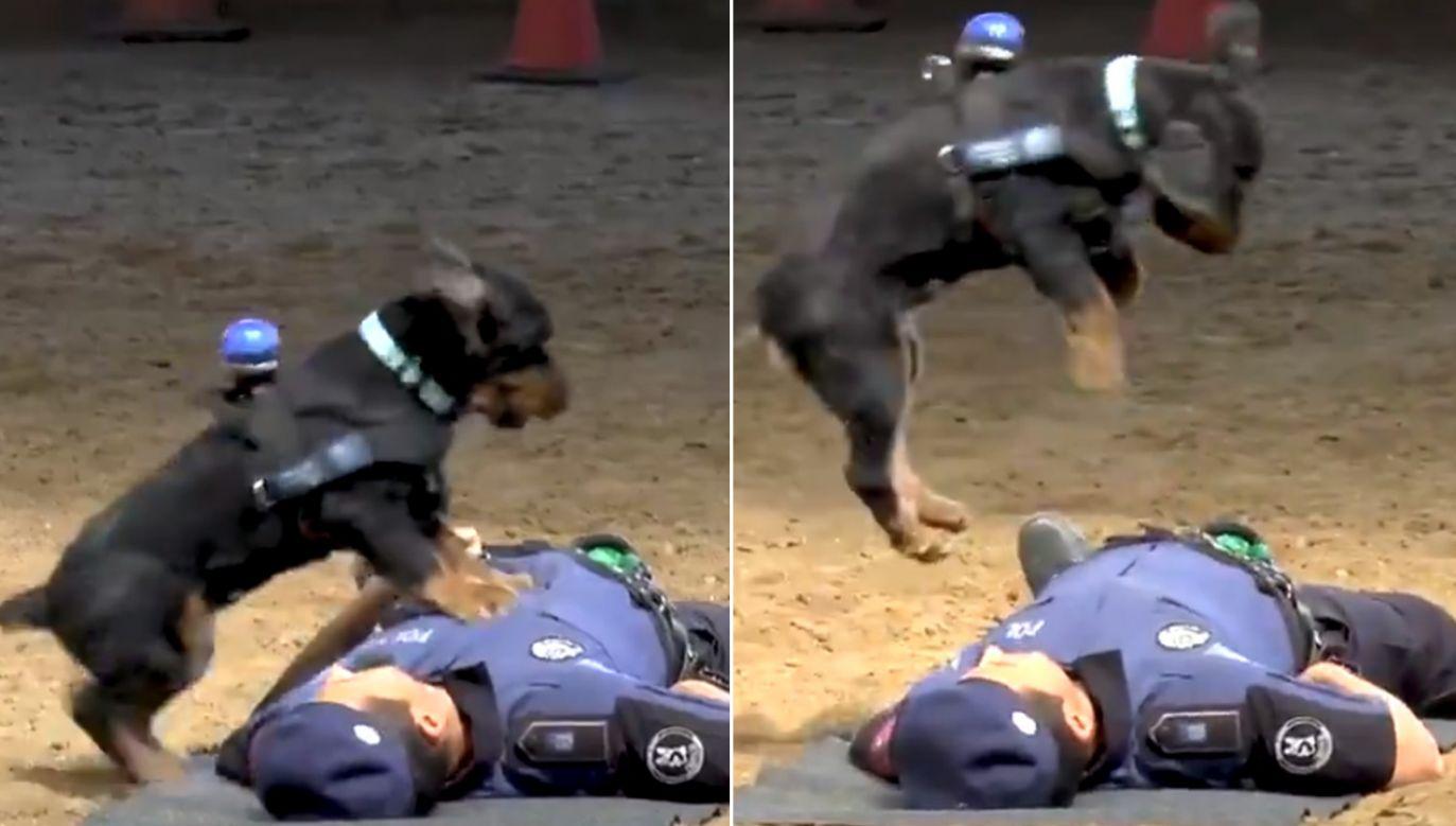 Cocker spaniel wykazał się wyjątkowymi umiejętnościami (fot. tt/Policía de Madrid)