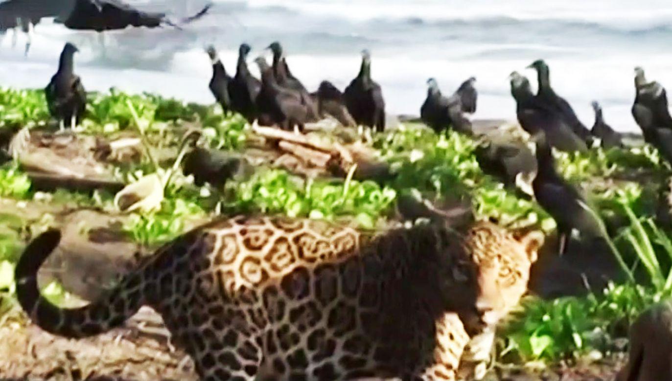 Jaguary stanowią zagrożenia dla zwiedzających, bo turyści mają dostęp do wydzielonych stref (fot. TVP Info)
