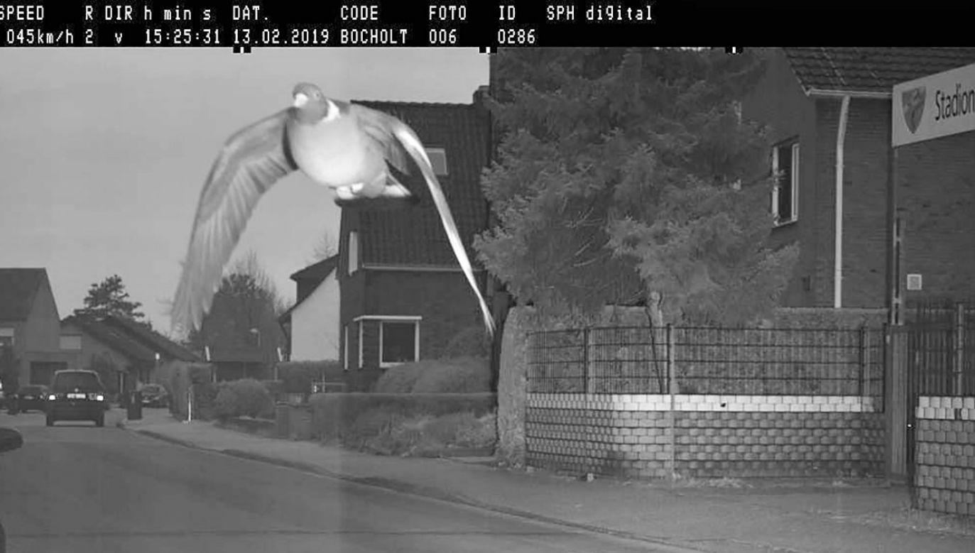 Gołąb miał lecieć z prędkością 45 km/h (fot. STADT BOCHOLT)