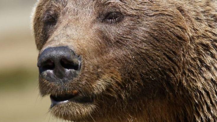 W Polsce niedźwiedzie objęte są ścisłą ochroną, a ich główną ostoją są Bieszczady. W polskiej części Tatr żyje ok. 15 osobników, fot. fot. pixabay.com/Pixel-mixer