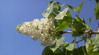 Letni dzień - biały bez (fot. Kazimierz Martyniak)