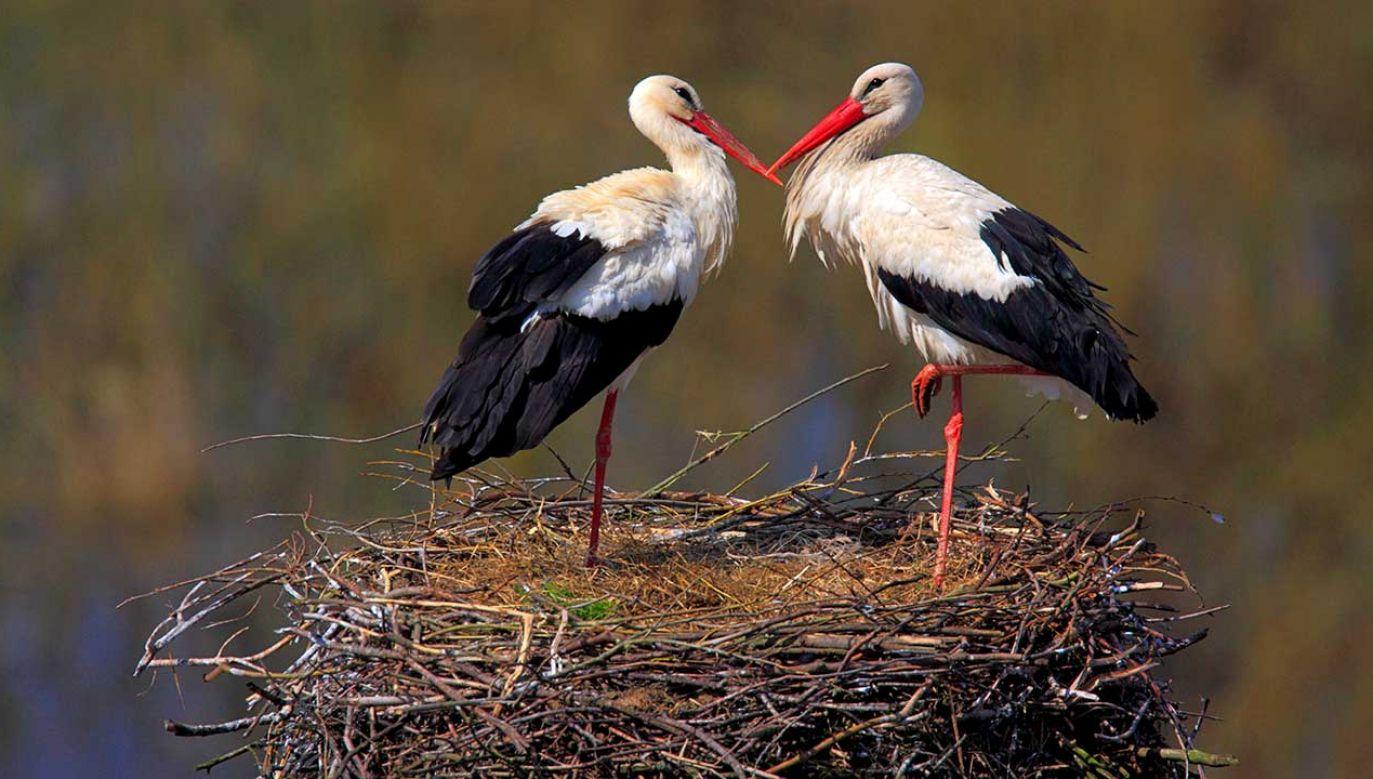 Szacuje się, że w naszym kraju może gniazdować ok. 40-45 tys. bocianich par (fot. Shutterstock/ArtMediaFactory)