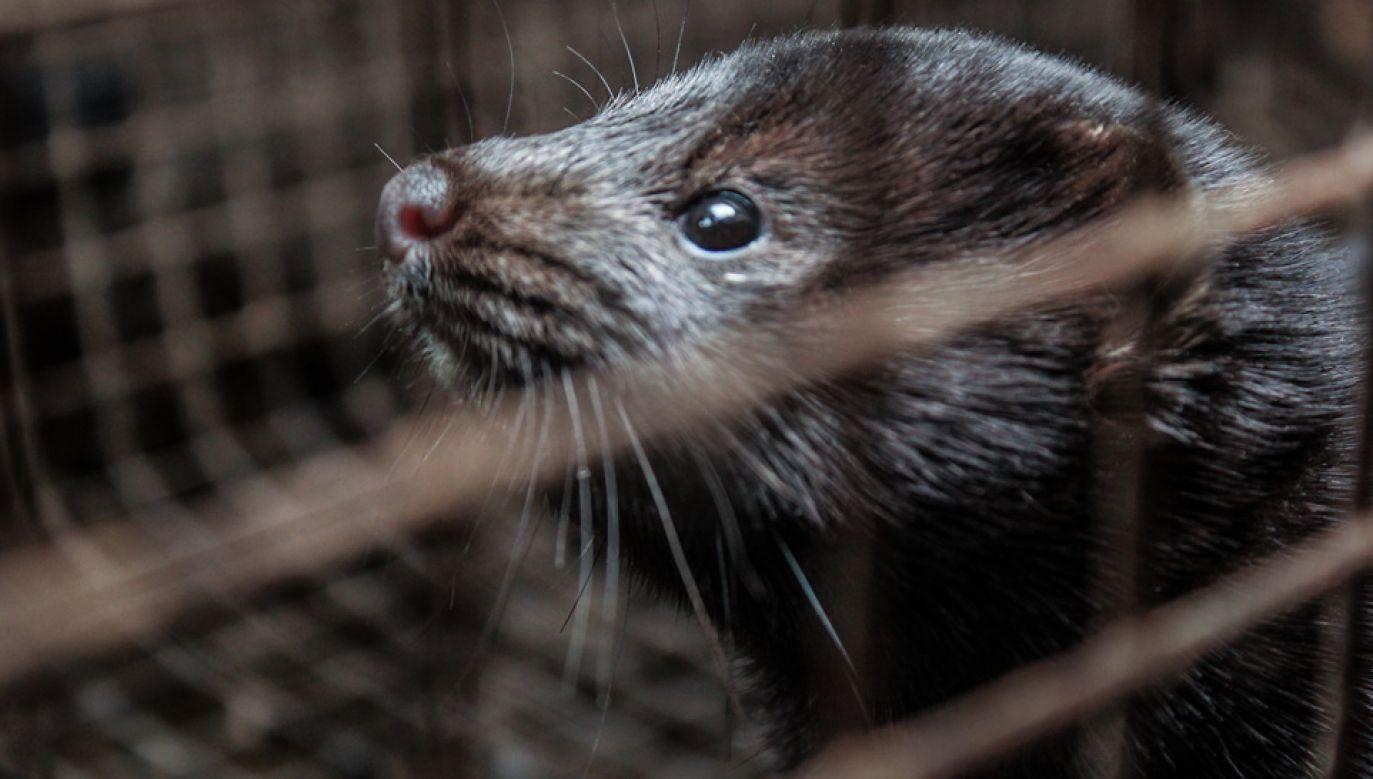 W Polsce zabija się każdego ponad 8 mln zwierząt futerkowych, głównie norek (fot. Flickr/Dzīvnieku brīvība)