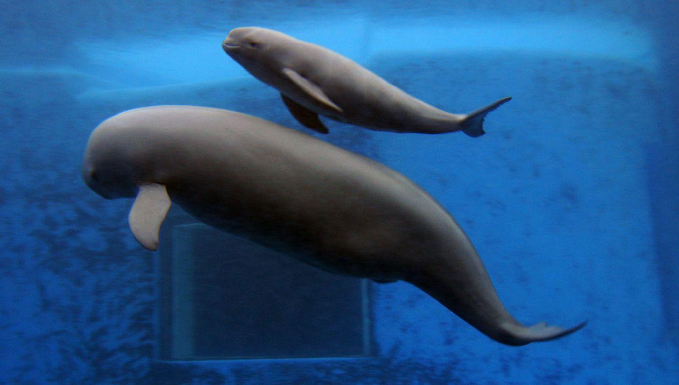 Rozmaite gatunki morświna występują we wszystkich oceanach świata (fot. China Photos/Getty Images)