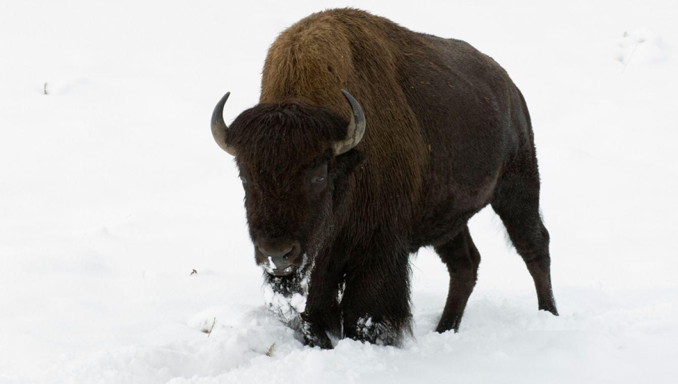 Pod samicą żubra zarwał się lód (zdjęcie ilustracyjne) (fot. Marka/UIG via Getty Images)