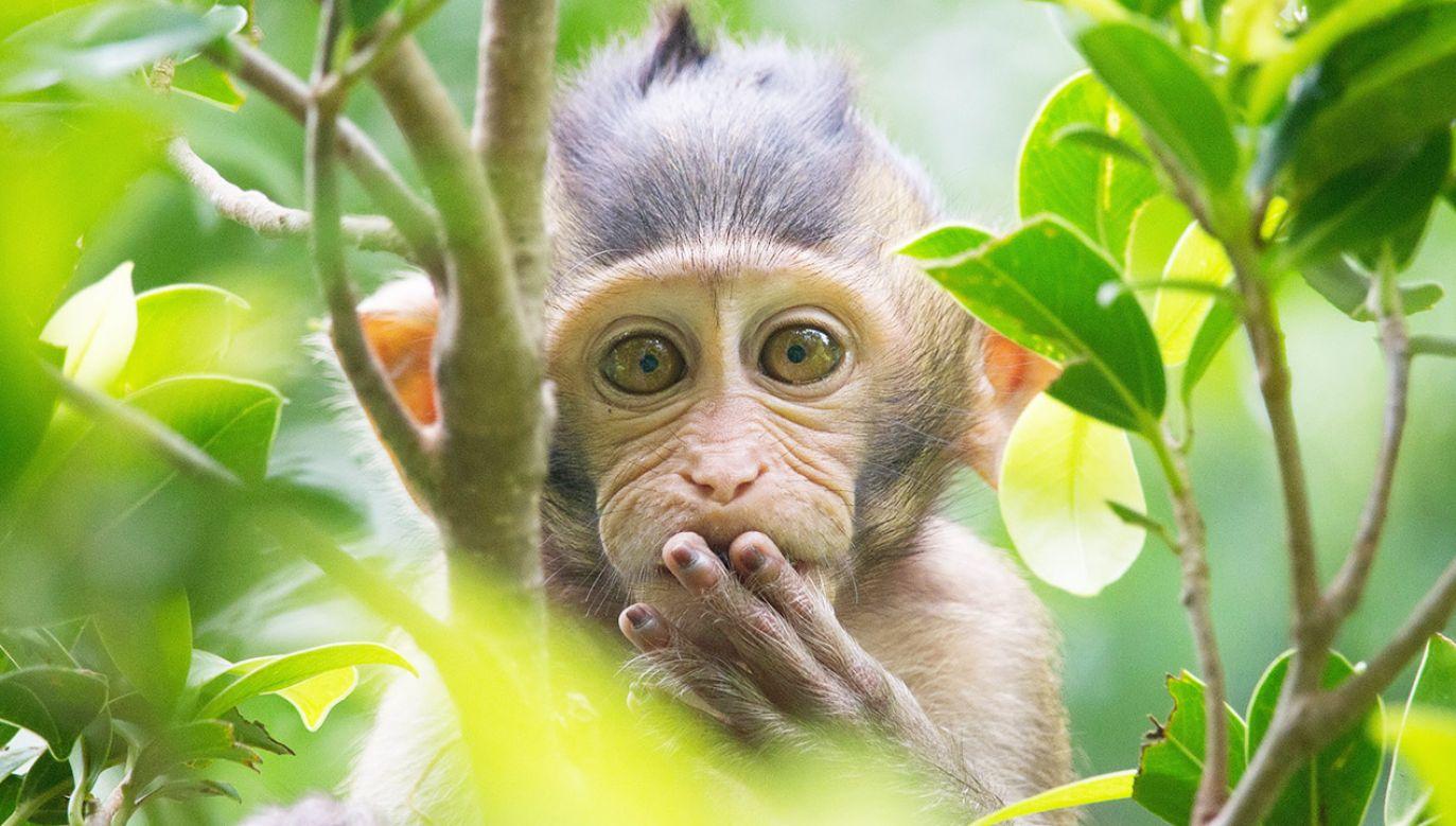 Już w 2010 roku naukowcy zachodni uznali, że wprowadzanie małpom ludzkich genów związanych z rozwojem mózgu jest nieetyczne (fot. Shutterstock/fontoknak)