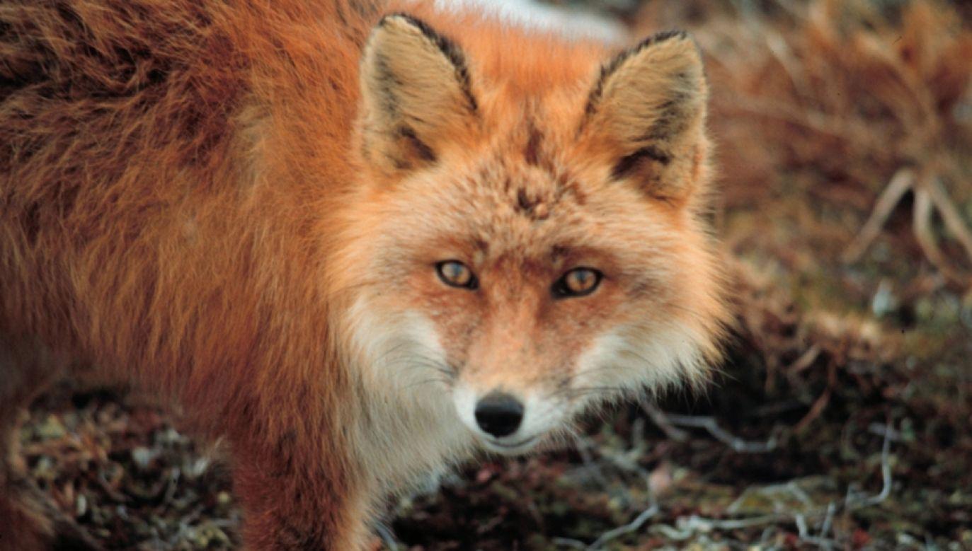 Nowe prawo nie przewiduje zakazu hodowli zwierząt z przeznaczeniem na futra (fot. Wikimedia Commons/aggblom, Lisa)