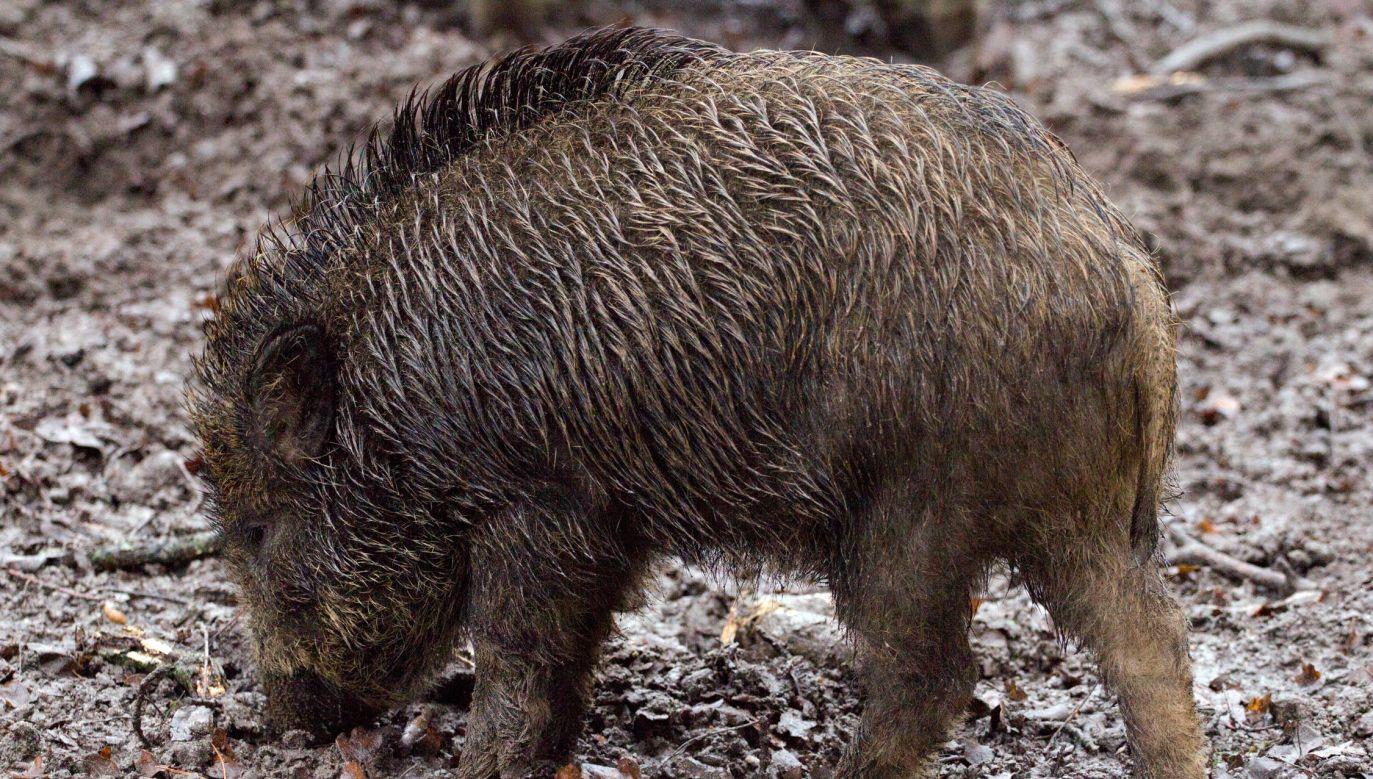 A wild boar. Photo: Pixabay.com