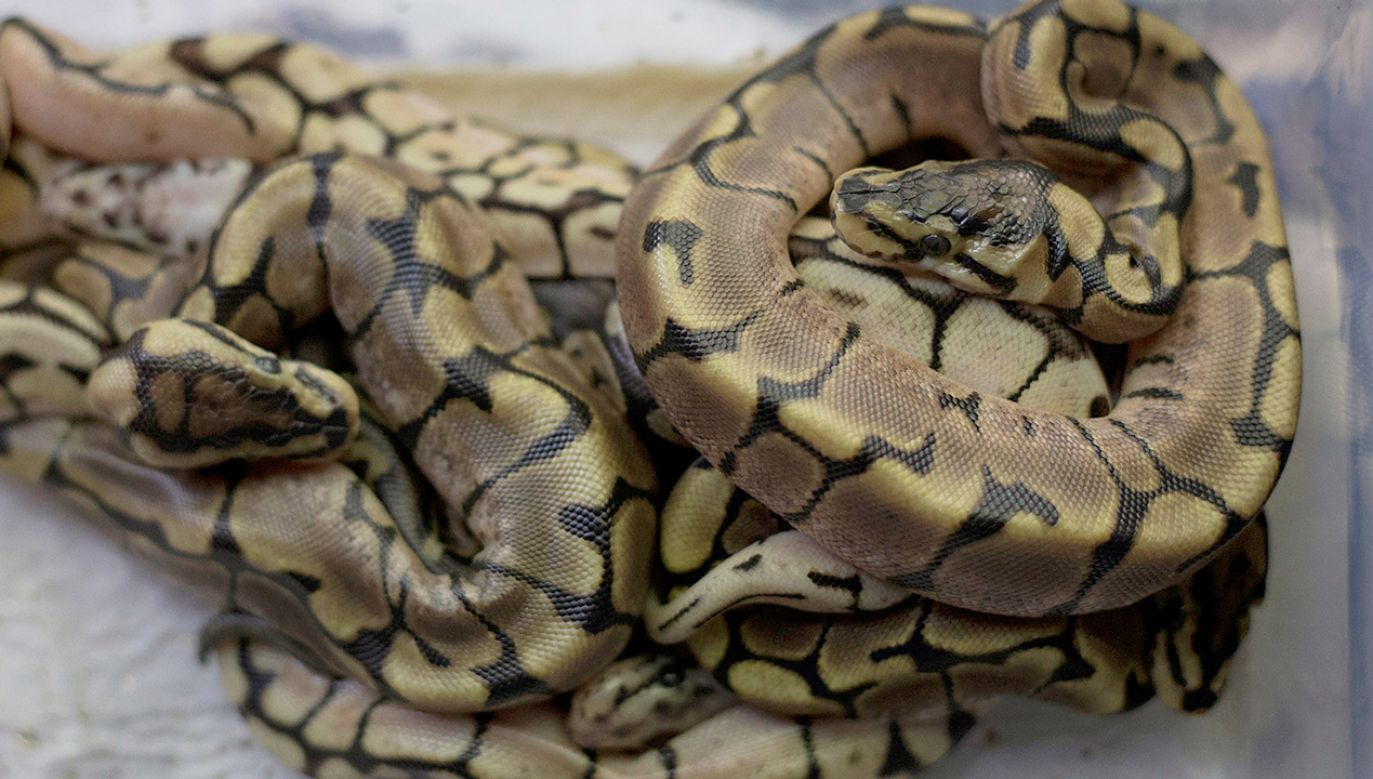 Wąż prawdopodobnie uciekł od właściciela (fot. REUTERS/Rogan Ward)