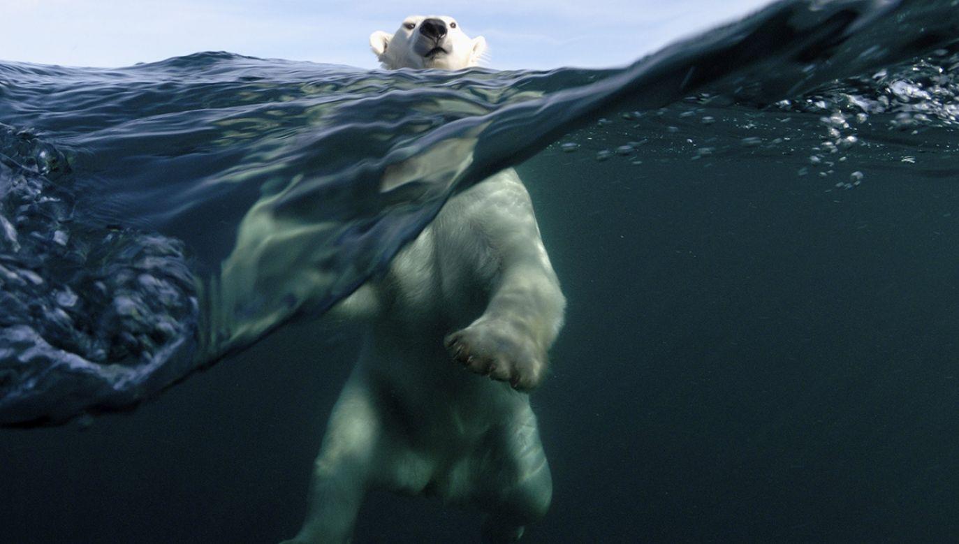 Materiał wzorowany jest na pustych wewnątrz włosach polarnego niedźwiedzia (fot. Sean Gallup/Getty Images)