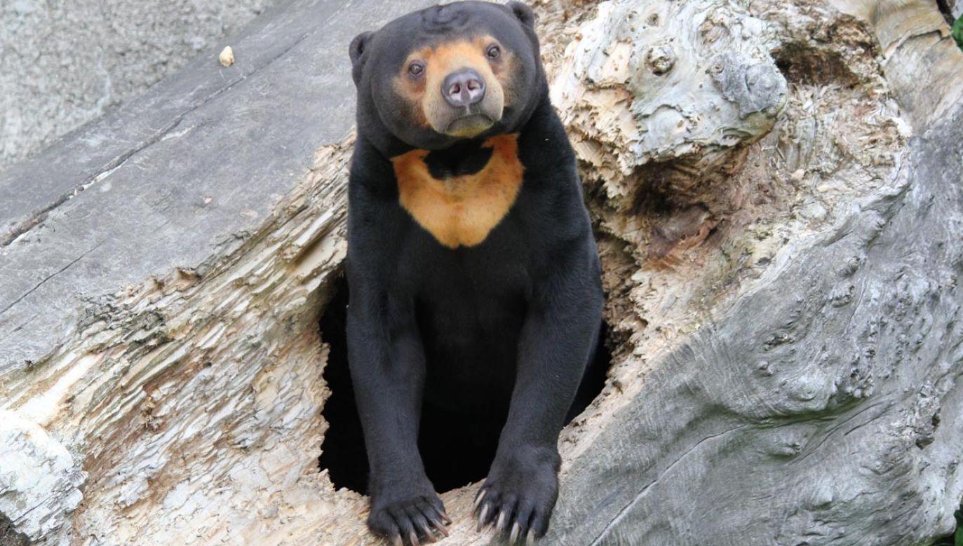 Wg naukowców niedźwiedzie malajskie mają zdolności mimiczne (fot. pixabay/veverkolog)