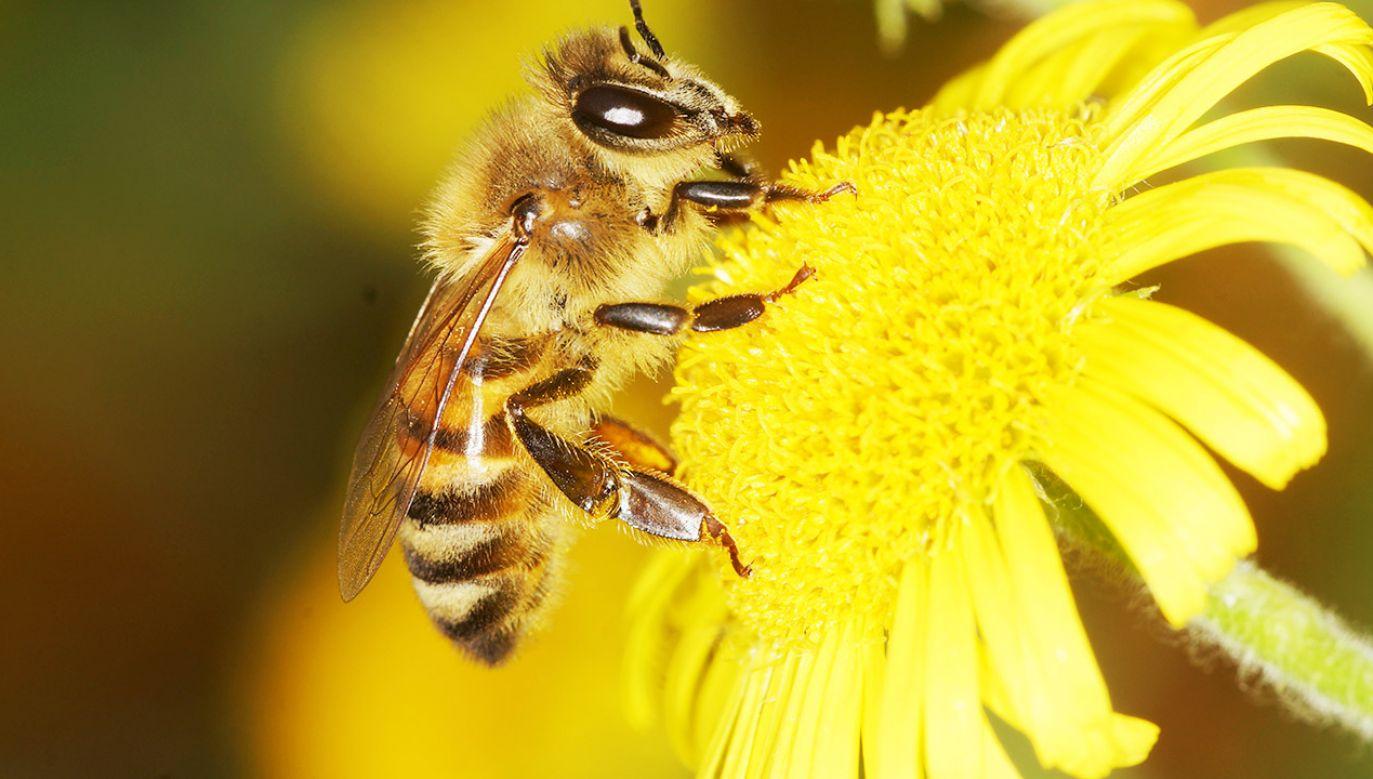 Badania ukazują, jak ważne jest przeprowadzanie prób na dzikich pszczołach przed dopuszczeniem pestycydów do użytku (fot. Shutterstock/Maciej Olszewski)