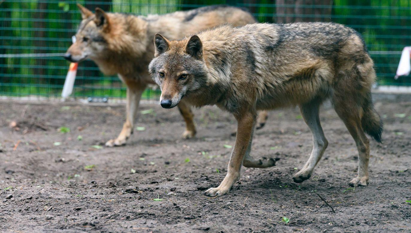 Według relacji właściciela psa, dwa wilki zagryzły czworonoga i zabrały jego ciało (fot. arch.PAP/Jakub Kaczmarczyk)
