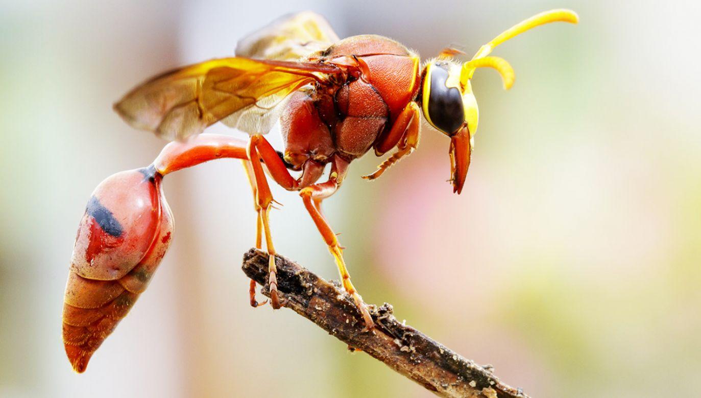 Jady owadów takich jak np. osy czy pszczoły obfitują w różnego rodzaju substancje zdolne do zabijania bakterii (fot. Shutterstock/yod67)