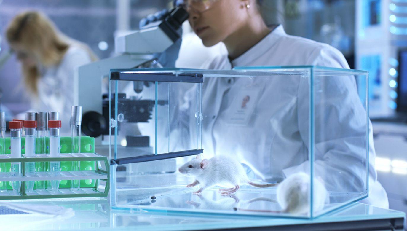 Tym sterylnie urodzonym i wychowanym myszom, pozbawionym jakiejkolwiek bakterii, podano doustnie florę jelitową bądź to pobraną od osób ze spektrum autyzmu, bądź to od osób neurotypowych (fot. Shutterstock/Gorodenkoff)