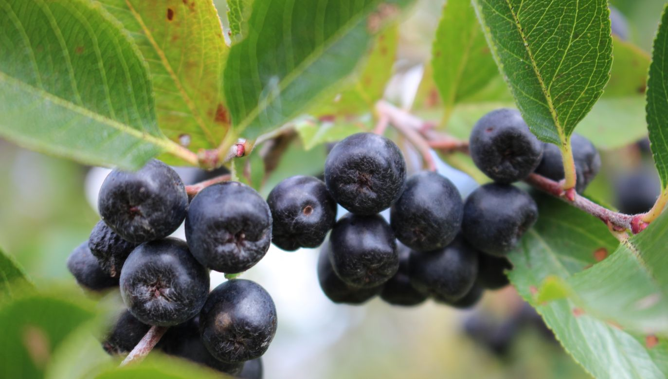 Aronia or a black chokeberry is packed with vitamins and antioxidants. Photo: Shutterstock/DzmitryBauer