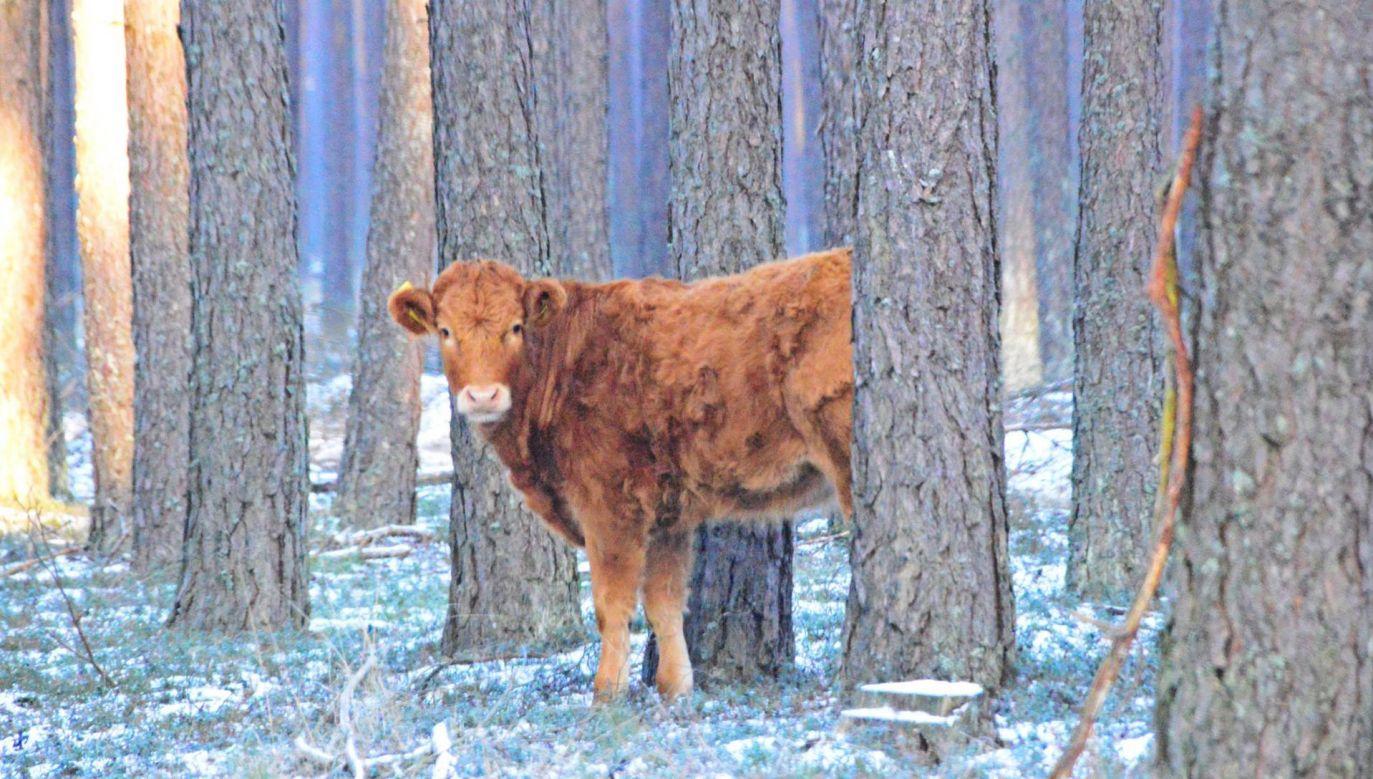 Jałówkę w lesie dostrzegli leśnicy (fot. Nadleśnictwo Kościerzyna)