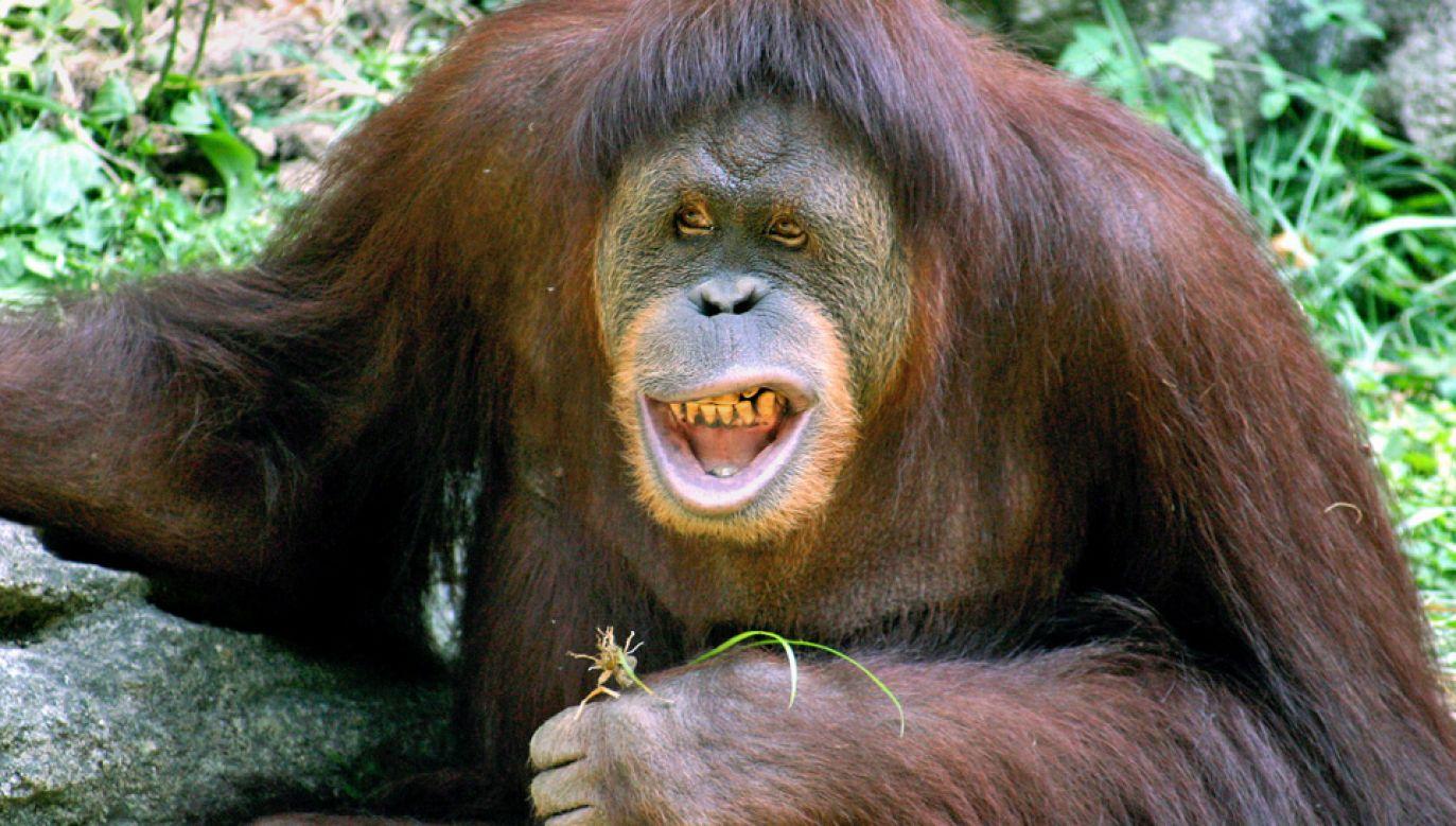 Władze zoo twierdzą, że incydent nastąpił z winy wolontariuszki (fot. Wiki/Kabir Bakie)