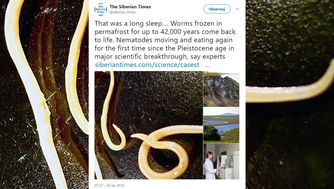 Oba robaki zostały znalezione w najzimniejszym regionie Rosji, Jakucji (fot. tt/@siberian_times)
