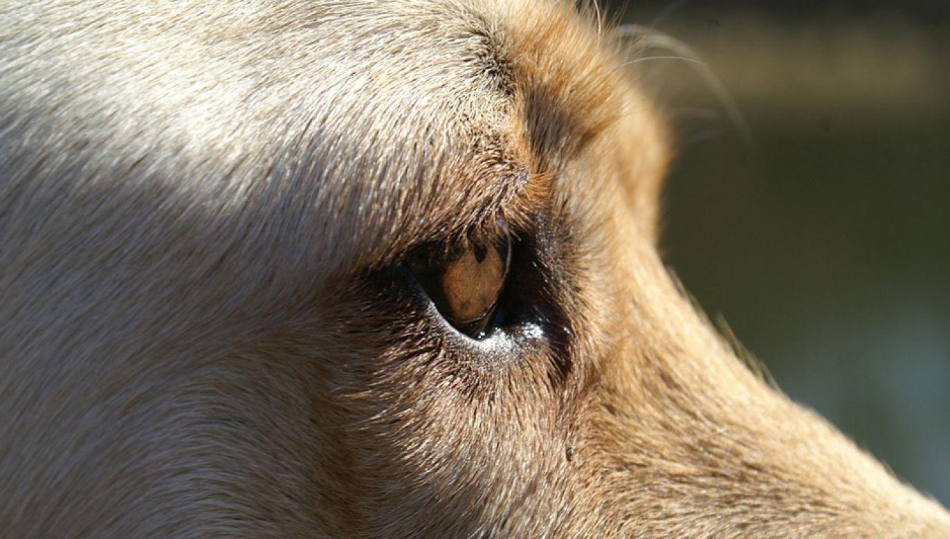 W ramach eksperymentu uśpiono sześć labradorów (fot. Pixabay/3342)