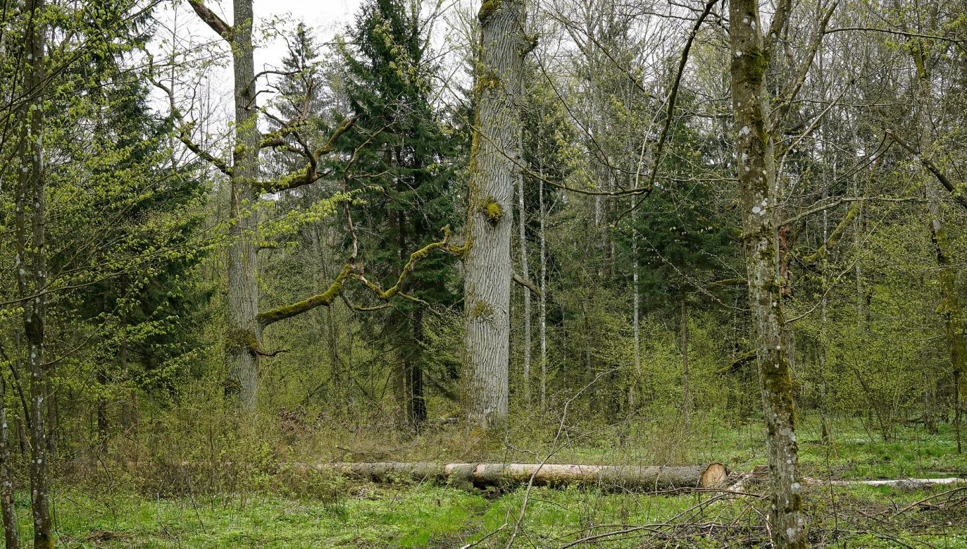 Mężczyzna chcąc uciec przed spadającym drzewem, potknął się i nieszczęśliwie uderzył głową w leżący na ziemi kamień (fot. pixabay.com/summa)