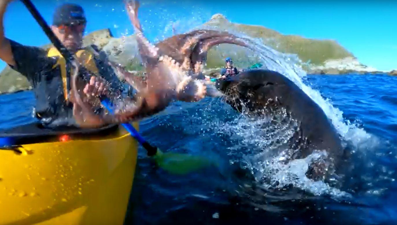 Foka podpłynęła do kajakarza i uderzyła go trzymaną w zębach ośmiornicą (fot. YT/Taiyo 'T' Masuda)
