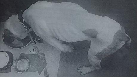 Właścicielka amstaffa nie przyznaje się do zarzucanego jej czynu (fot. KWP Olsztyn)