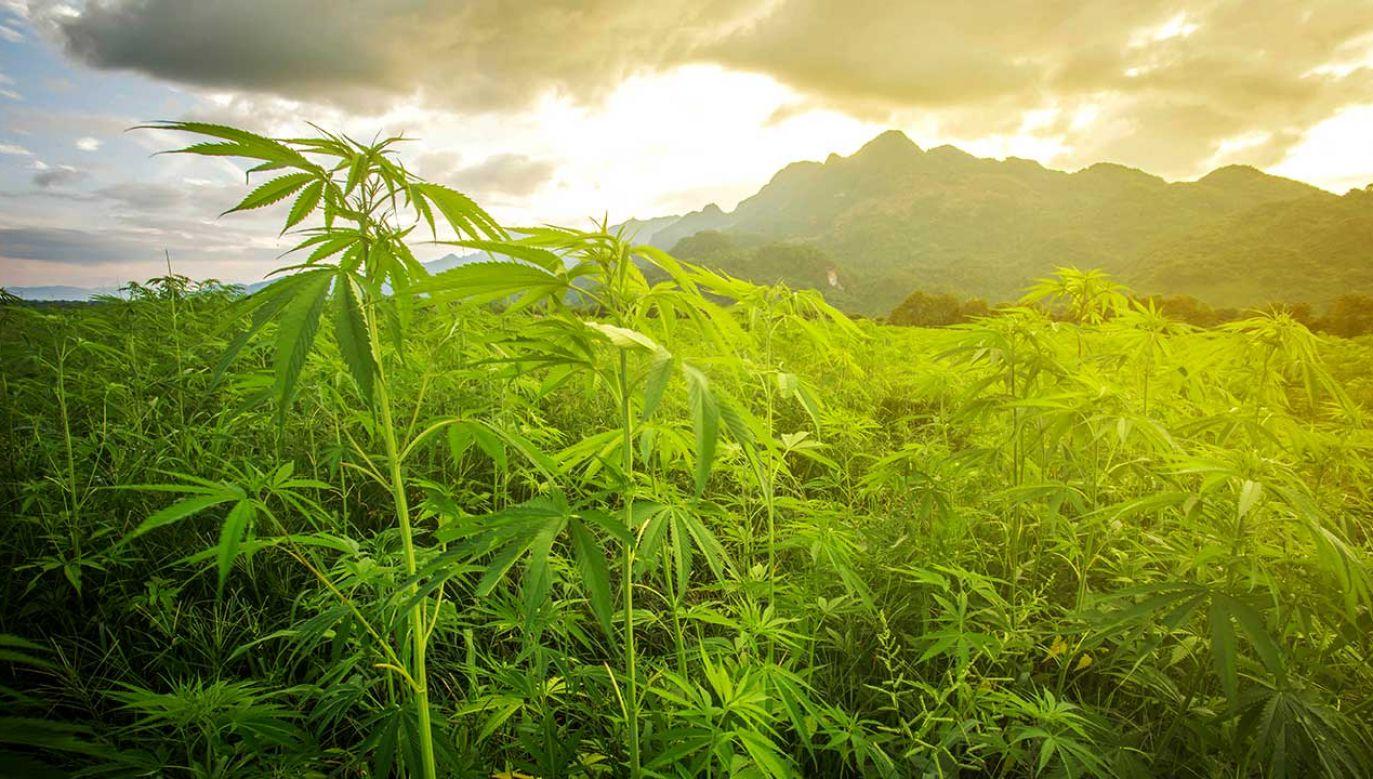 Kwiaty konopi są źródłem kannabinoidów, które były używane jako lek co najmniej od 2700 lat (fot. Shutterstock/Noppadon stocker)