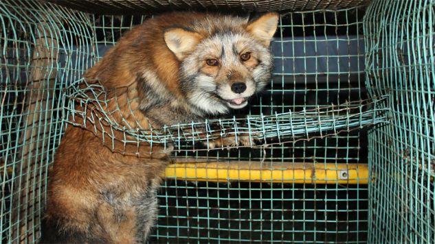 Obrońcy przyrody czekają na wprowadzenie przepisów (fot. Wiki/Oikeutta eläimille)