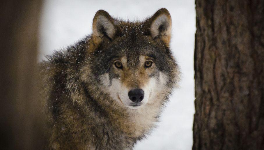 Wspaniały Przybywa hybryd wilków psami - tvp.info MM19