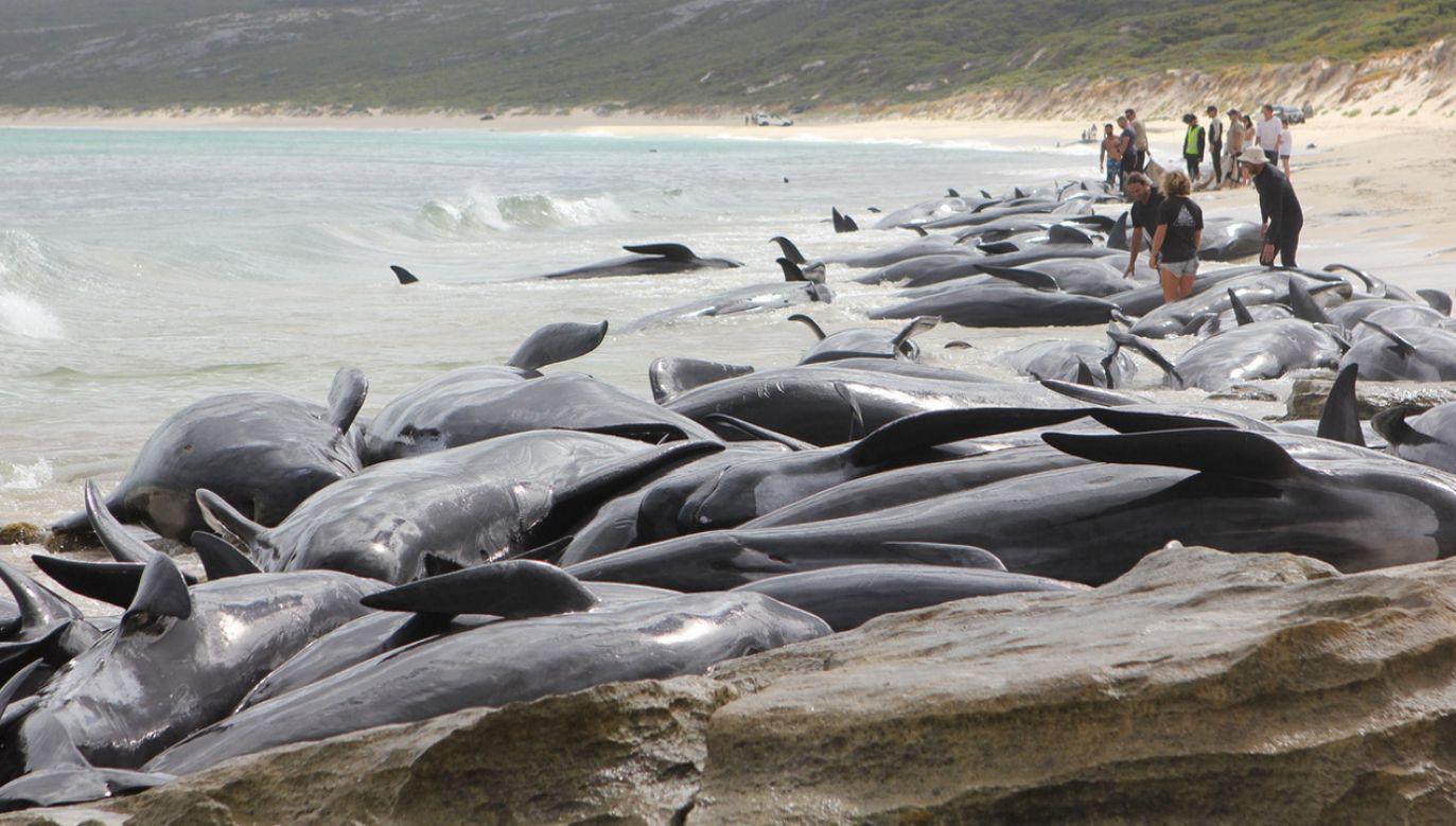 Nietypowa sytuacja w Australii, ocean wyrzucił na brzeg 150 wielorybów (fot. tt/@WAParksWildlife)