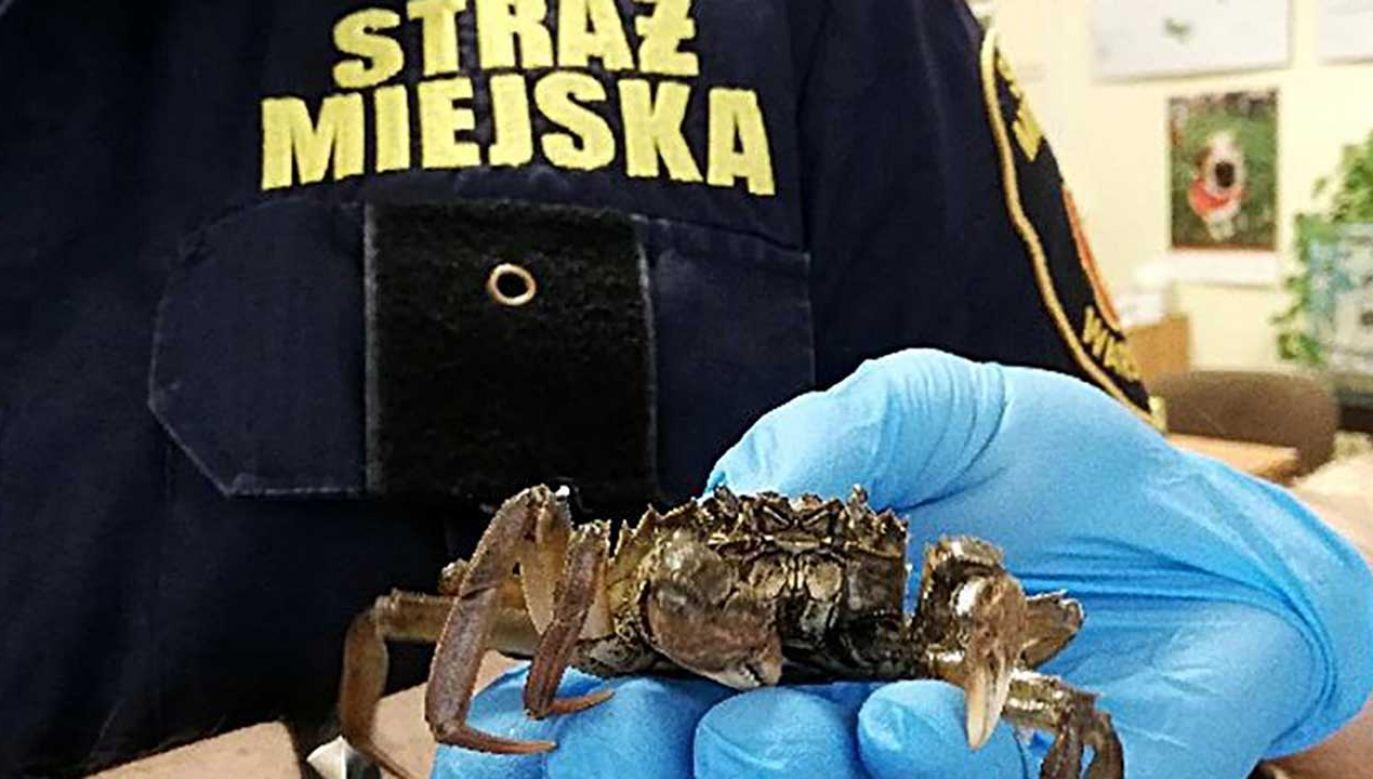 Krab prawdopodobnie uciekł sąsiadowi (fot. strazmiejska.waw.pl)