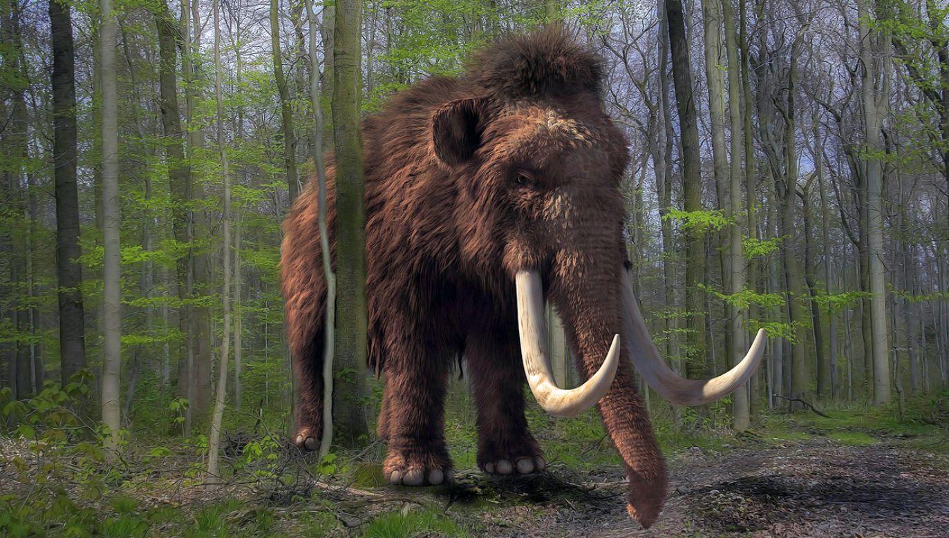 Mamuty pojawiły się w Europie ok. 500 tys. lat temu (fot. pixabay/Michi-Nordlicht)