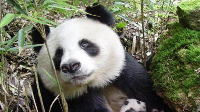 BBC w Jedynce - Małe Pandy Wielkie