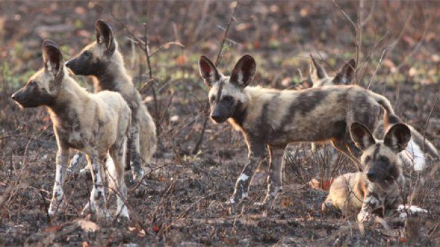 Likaony pstre to zwierzęta stadne (fot. Wiki/Derek Keats)