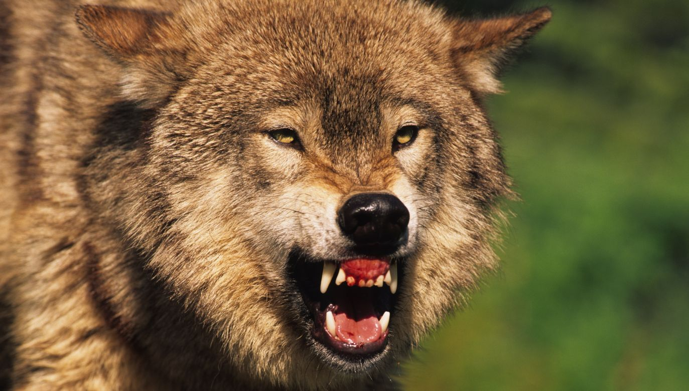 According to scientists, the wolf had showed behaviour suggesting previous contact with humans. Photo: Shutterstock/Tom Tietz