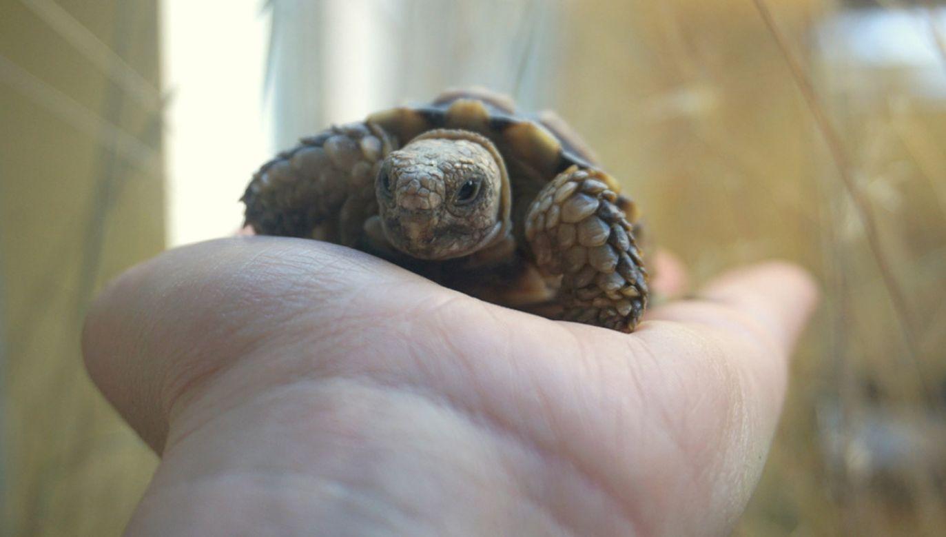 Żółwik przyjechał do Polski w maju (fot. ZOO Wrocław)