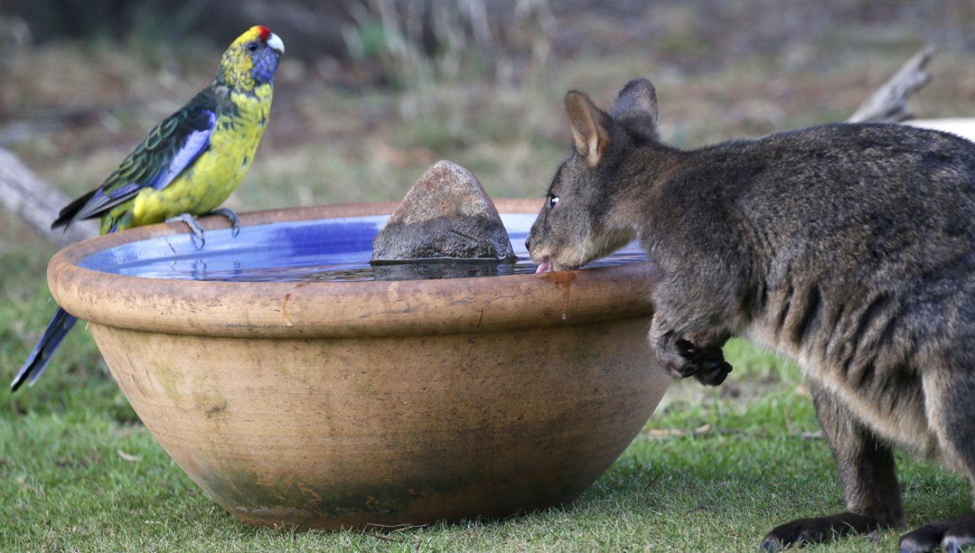 W wyniku upałów ginie wiele zwierząt  (fot. PAP/EPA/BARBARA WALTON)